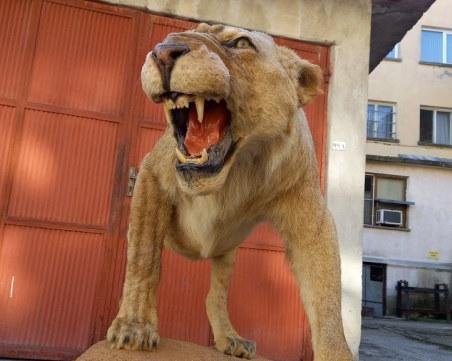 В Разград откриха препариран лъв без документи