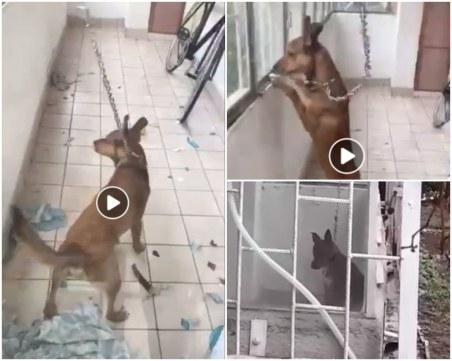 Куче бедства в Пловдив! Не може да легне, вързано е с провесен метален синджир на балкон