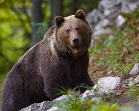 Три нападения от мечки в родопски села