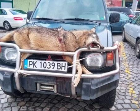 Мъж завърза убито животно на предния капак на колата си и обиколи с него Перник