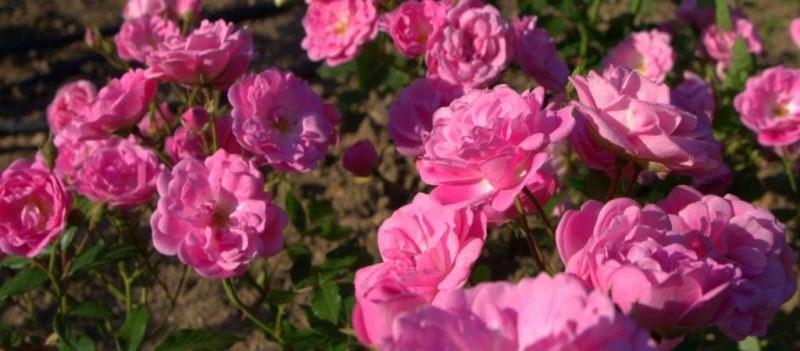 Отпускат 3 млн. лева за бране и преработка на розов цвят