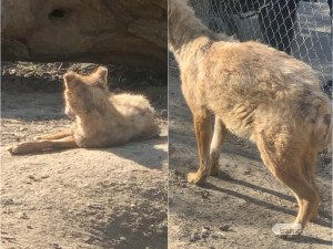 След сигнали за състоянието на чакалите в зоопарка в Пазарджик, пуснаха животните на свобода