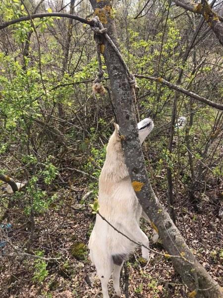 Жестоко! Обесиха родило наскоро куче на дърво в Червен бряг