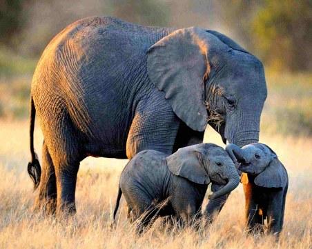 Изкуствен интелект може да спаси слоновете и други видове от изчезване