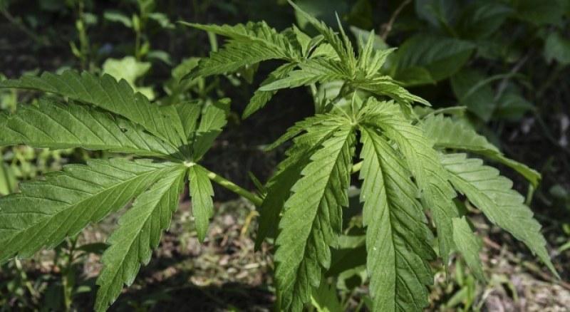 Спипаха мъж да отглежда канабис в Пазарджишко, намериха и амфетамин