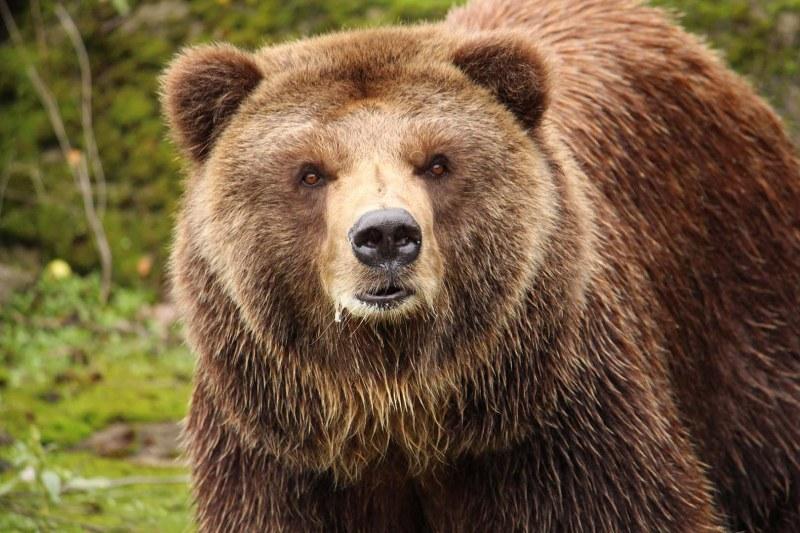12 нападения от мечки в Смолянско през април