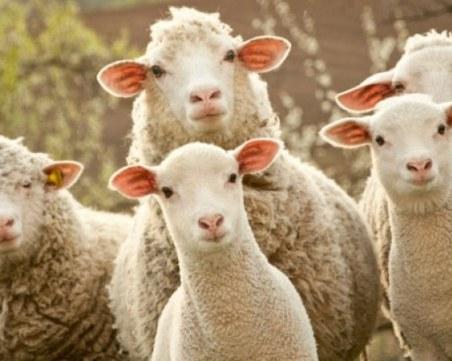 Овцевъди: В България има стотици хиляди