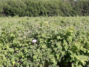 Беритбата на рози в Пловдивско закъснява