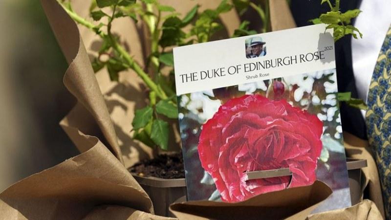 Създадоха специална роза за Филип и я засадиха на емоционално място - замъка Уиндзор