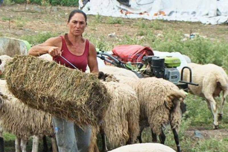 Взимат повторни проби от животните на Ана Петрова от Болярово