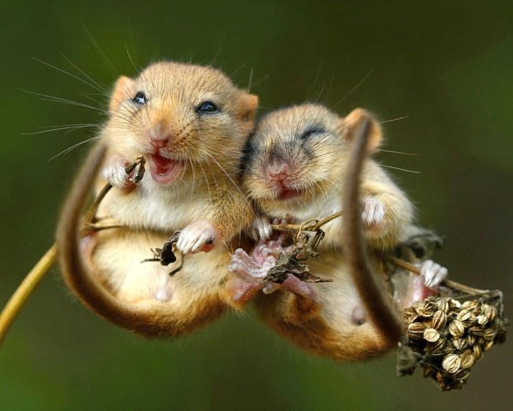 Стотици малки сънливци са пуснати обратно на свобода в дивата природата