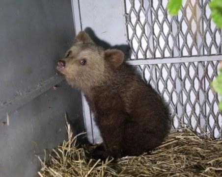 Искат групи за бързо реагиране за опазване на мечките у нас
