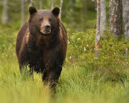 Нападение от мечка край Белица! Жена е в болница