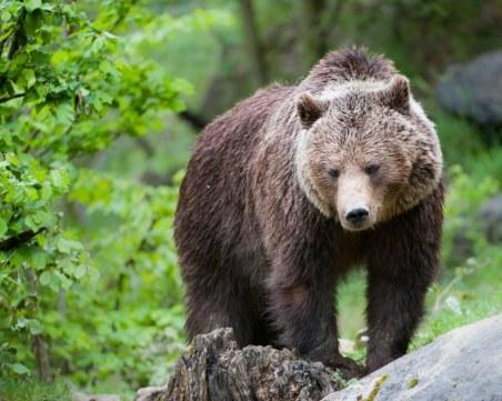 Близо 4700 подписа в петиция в защита на мечката, нападнала жена край Белица