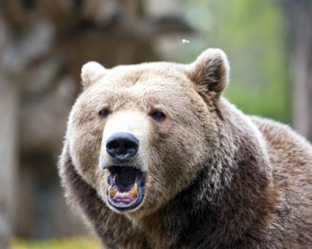 Няма разрешение за отстрел на мечката нападнала жена в Белица