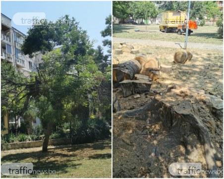 На косъм от трагедия в Пловдив: Дърво се стовари на метри от деца в парк
