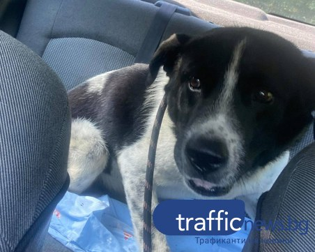 Спасиха кучето на пътя Храбрино - Дедево! Благодетелите търсят пари за лечението му