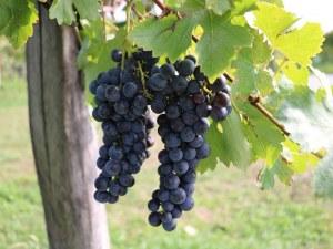 Земеделското министерство готви фонд за подкрепа на лозаро-винарския сектор