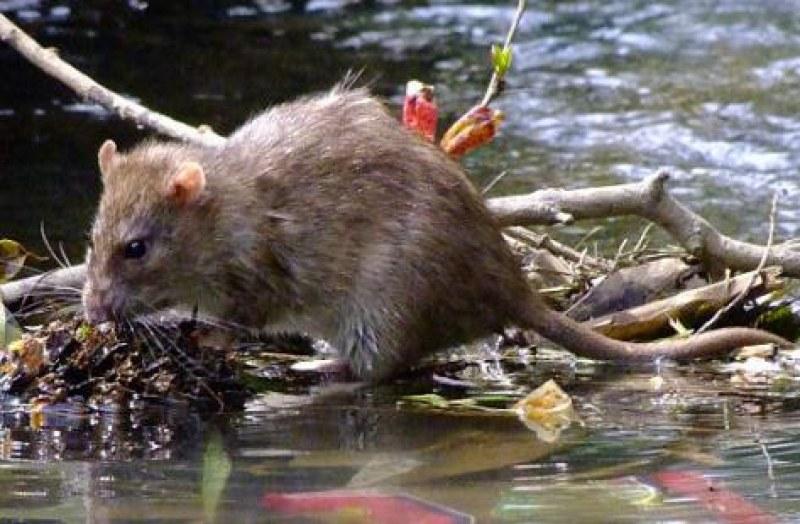 Зарази в реките! Откриха първи случаи на лептоспироза у нас