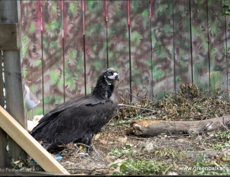 Първото малко черно лешоядче, излюпено в природата в България, беше успешно опръстенено