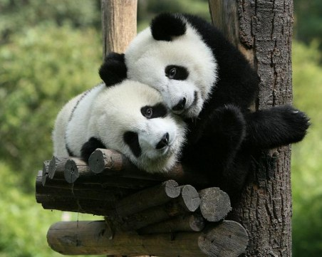 Панди близнаци се родиха в зоопарк във Франция
