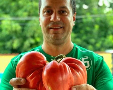Кметът на Враца отгледа гигантски домат, тежи почти 2 кг
