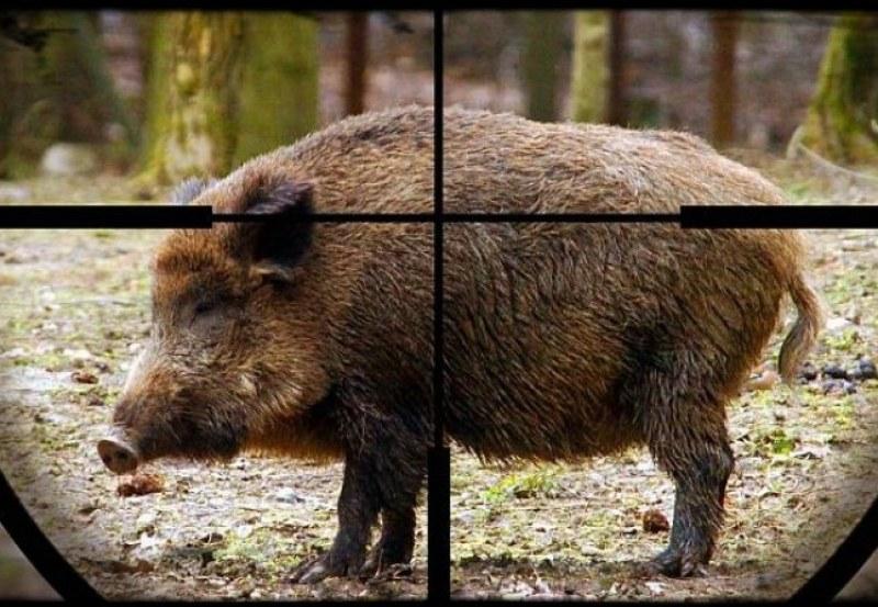 Откриват груповия лов на диви прасета в началото на октомври