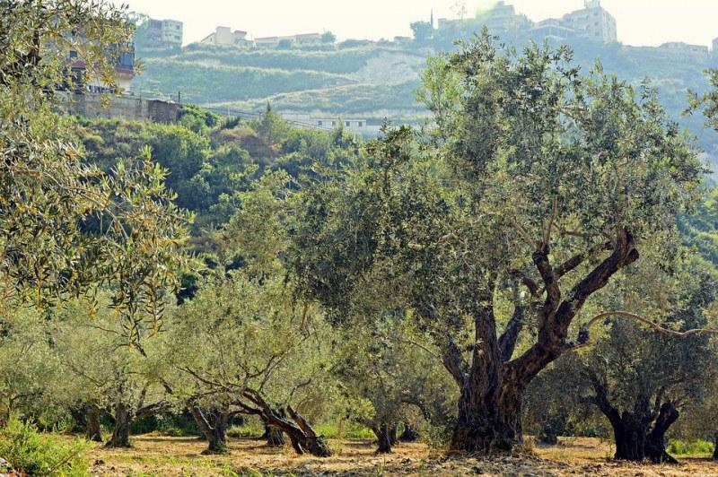 Засаждат 100 000 маслинови дръвчета след опустошителните пожари в Гърция