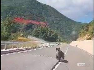 Отново: Мече се впусна в луда надпревара с коли на пътя Кричим – Девин