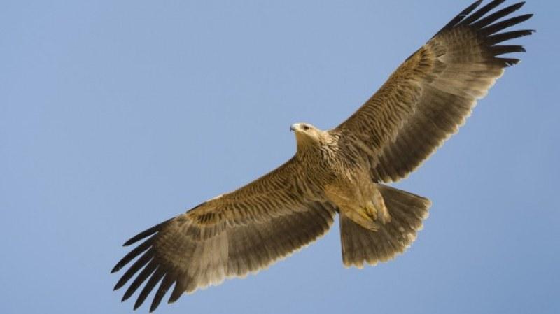 Опитват да спасят царски орел, открит с множество сачми