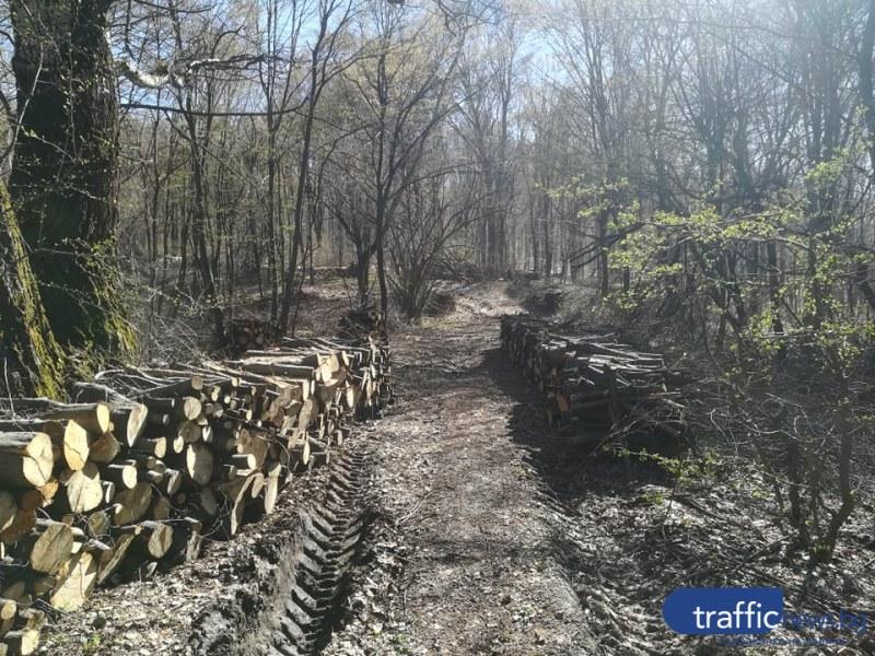 Бракониери изсякоха иглолистна гора в Пазарджишко, полицията ги спипа