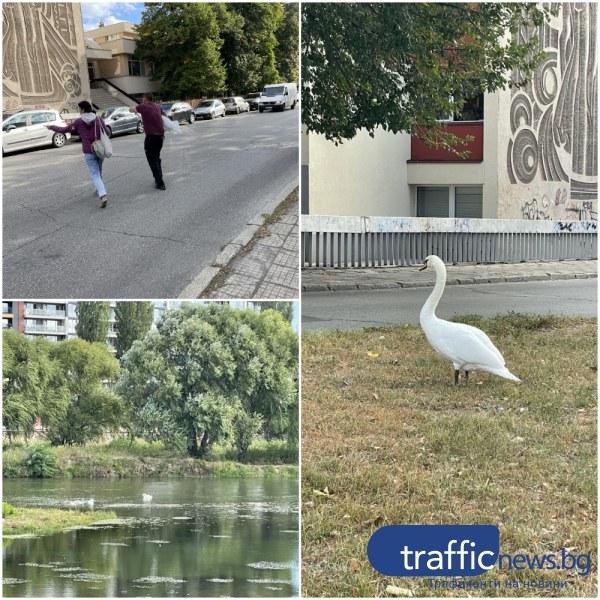 Пловдивчани спасиха бедстващ лебед, баща на две малки