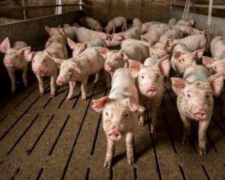 БАБХ: Няма да се умъртвяват всички прасета в Съединение