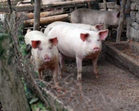 Огнище на африканска чума в Съединение! Убиват десетки прасета