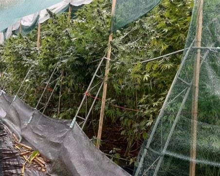 Разкриха наркооранжерия в ловешко село, иззети са над 200 растения