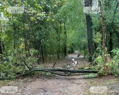 Паднало дърво блокира алея в Лаута